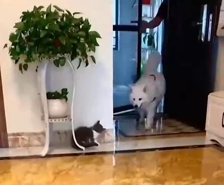 Фото №1 - Храбрый котенок подкарауливает собаку, чтобы напугать (видео)