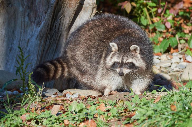 Фото №1 - Живущие в городских окрестностях млекопитающие неожиданно прибавили в размерах