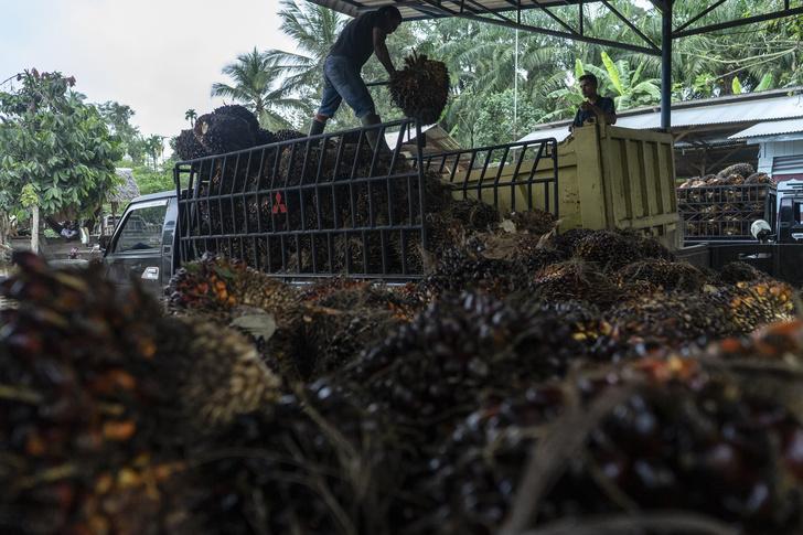 Фото №4 - Критическое масло: мифы и правда о пальмовом масле