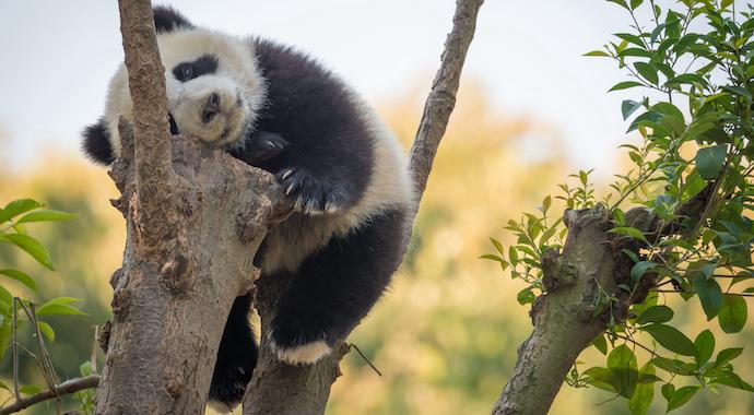 10 маленьких панд впервые появились на публике накануне китайского Нового года