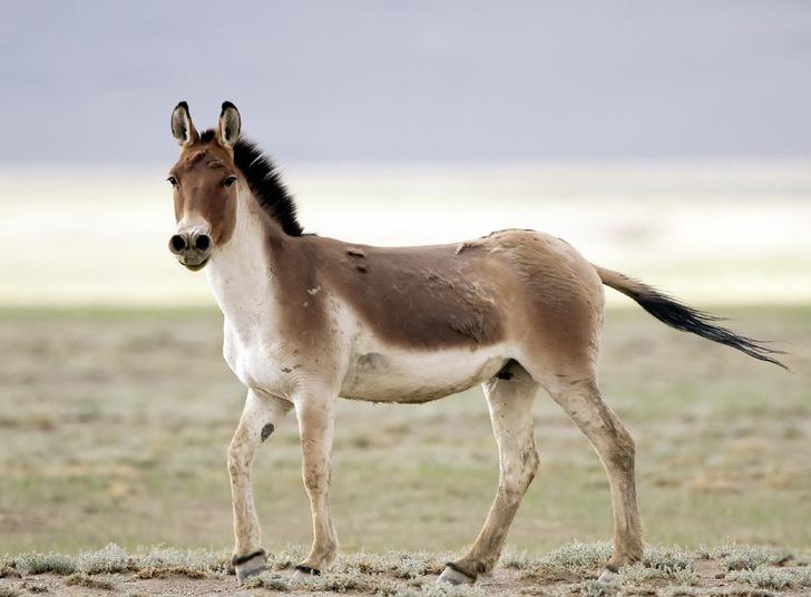 Фото №3 - Кузены по воле: дикие родственники лошади Пржевальского