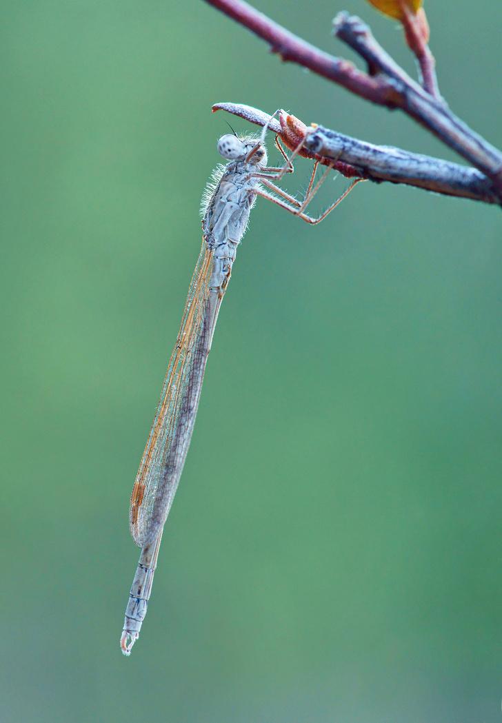 Фото №2 - Непревзойденные асы: как живут и охотятся стрекозы