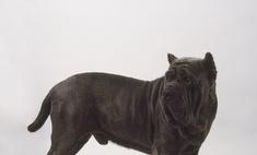 Внешность и характер собак породы кадебо