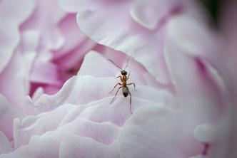 Фото №2 - Дикий соперник розы: где в России найти одно из самых красивых лекарственных растений