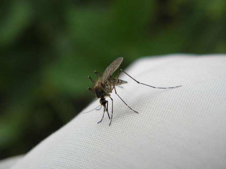 комар укус