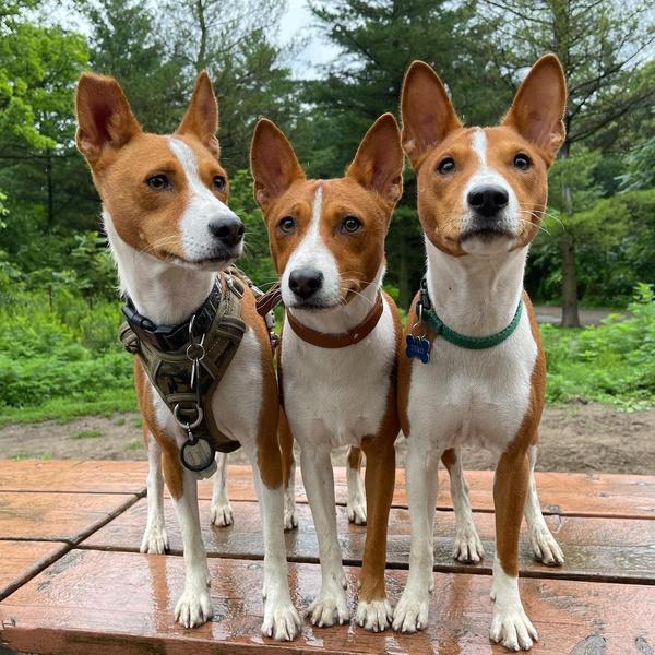Басенджи, породы собак для квартиры, собаки для квартиры, тихие породы собак, породы собак для детей