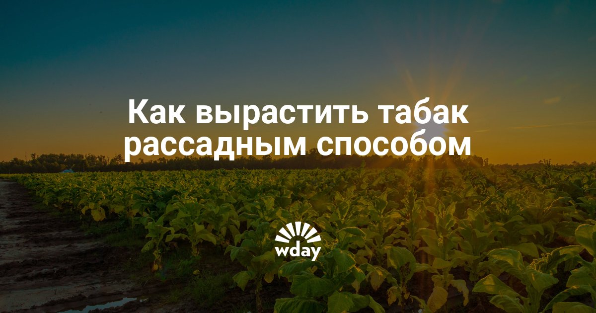 Табак как выращивать и сушить