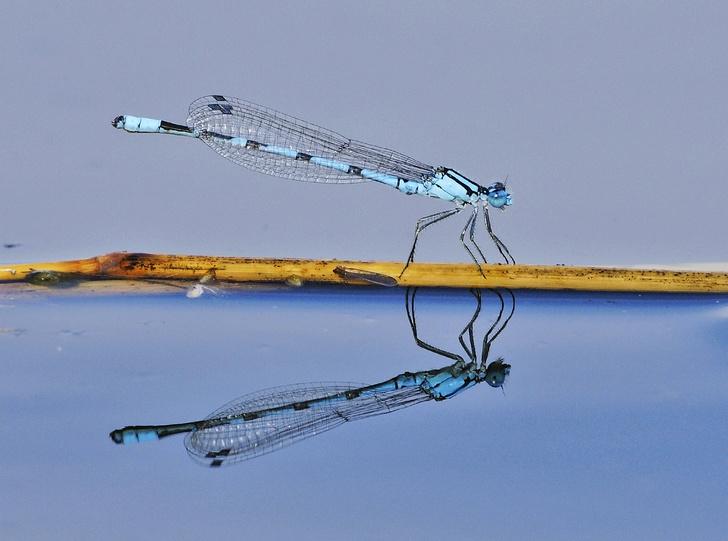 Фото №1 - Непревзойденные асы: как живут и охотятся стрекозы
