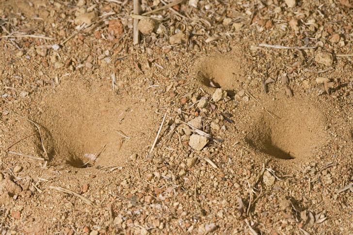 Фото №4 - Как выглядит и где обитает самый беспощадный охотник на муравьев