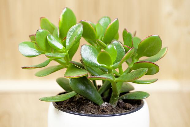 Фото №3 - Кактус цветет к деньгам: как гадать на комнатных растениях