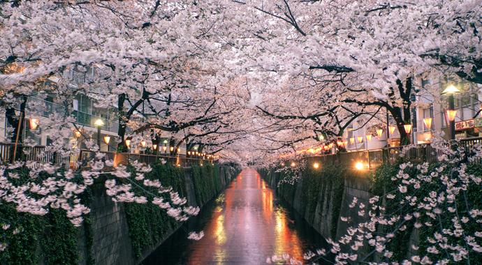 Сакура в Японии расцвела раньше обычного впервые за 1200 лет