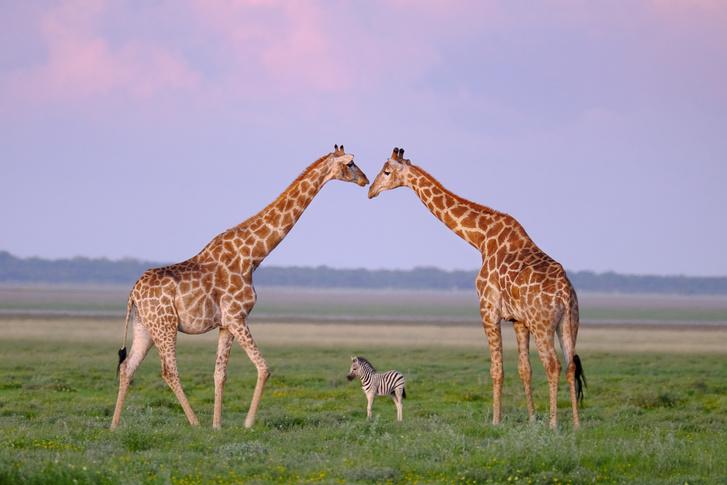 Фото №1 - Между нами только зебра