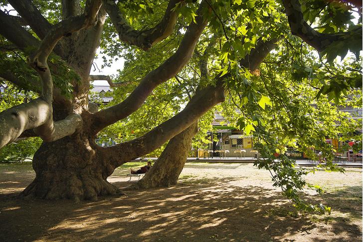Фото №3 - Деревянные выборы: самые интересные деревья мира