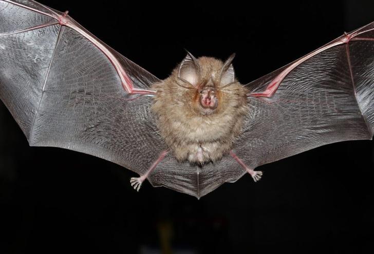 Фото №8 - Ужас, летящий на крыльях ночи: 7 самых необычных летучих мышей