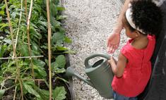 Томат Сахарный гигант: описание и условия выращивания