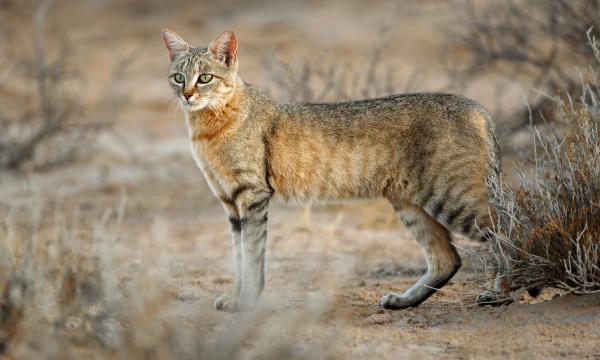 Фото №2 - Как кошки повлияли на историю человечества