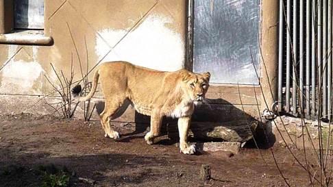 Фото №1 - В Московский зоопарк привезли азиатскую львицу