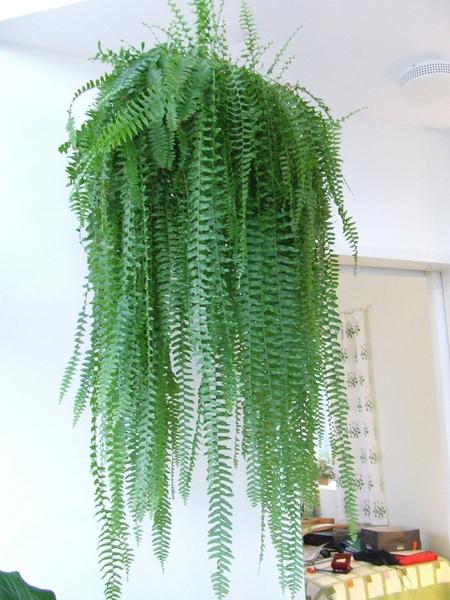 Фото №1 - Модное растение в доме: папоротник