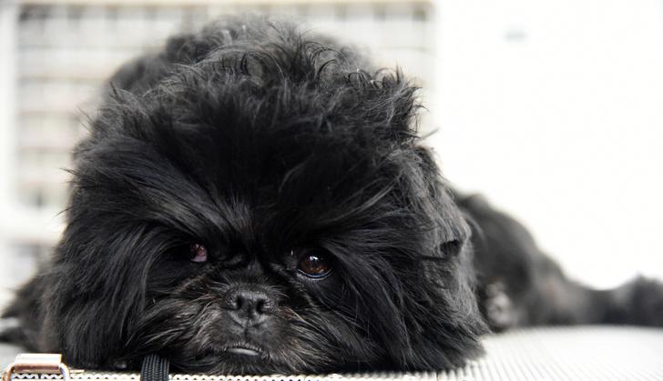 Фото №9 - Бесценные: 10 самых дорогих пород кошек и собак