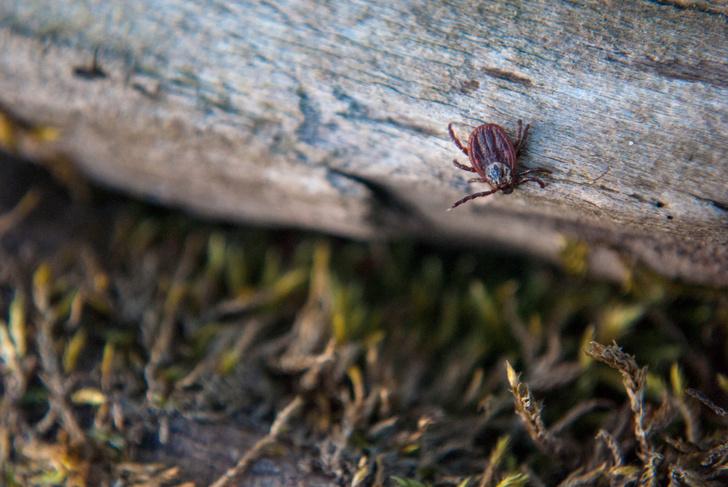 Фото №2 - Паукообразные дракулы: как живут одни из самых опасных животных России и можно ли от них спастись