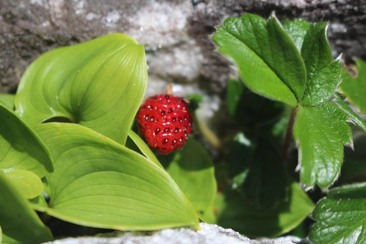 Фото №13 - 7 овощей и фруктов, которые создал человек