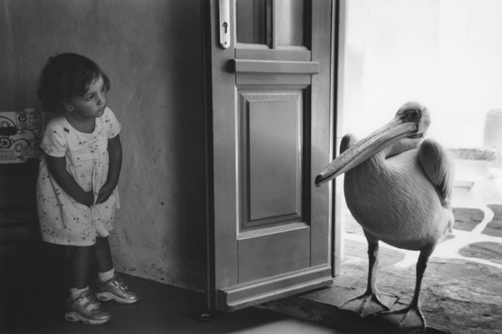 Пеликан на пороге