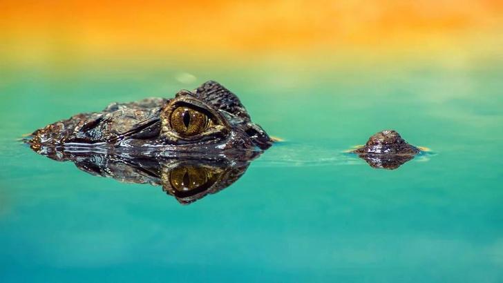 Фото №1 - 5 трогательных фактов про крокодилов