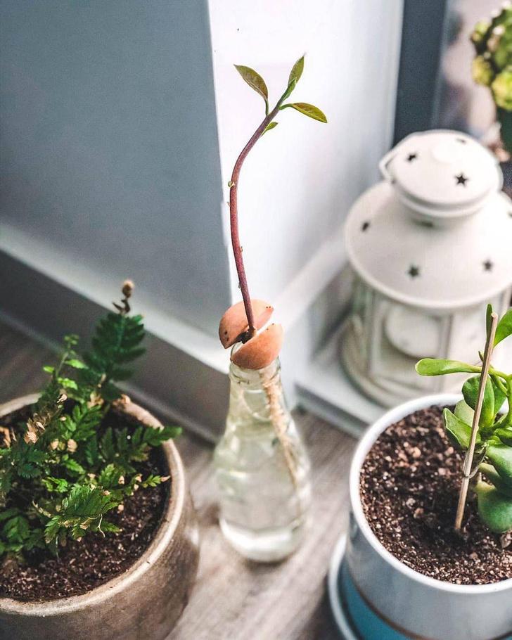Фото №3 - Как вырастить авокадо у себя дома: практические советы