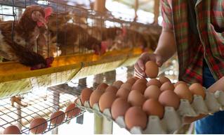 Правда ли, что коричневые яйца лучше белых?