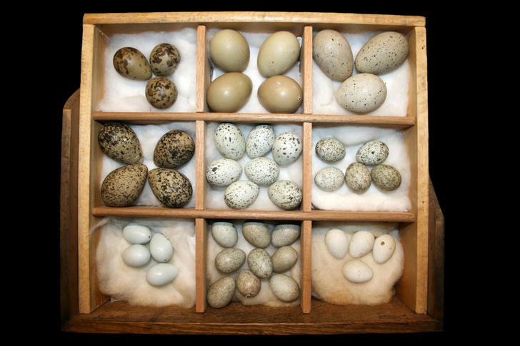 Фото №1 - Яйца каких животных съедобны для человека?