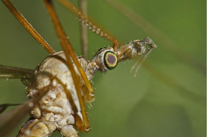 Фото №3 - Безобидные монстры: 3 портрета насекомых, которых мы боимся напрасно