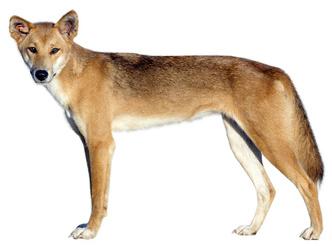 Фото №2 - Собаки с волчьим билетом