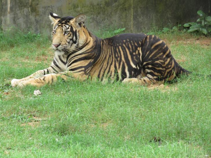 Фото №1 - Разгадана тайна появления «черных» тигров
