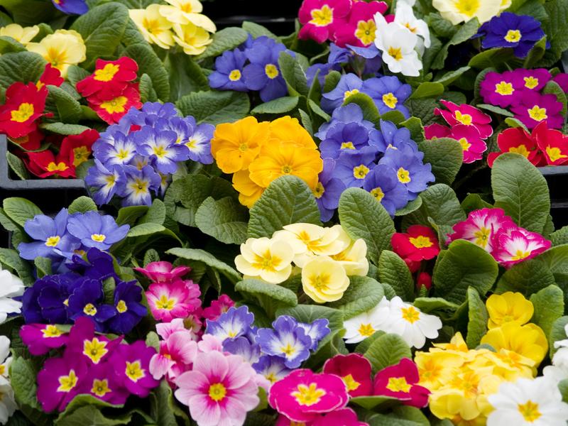 Примула, или первоцвет весенний Виды садовых растений