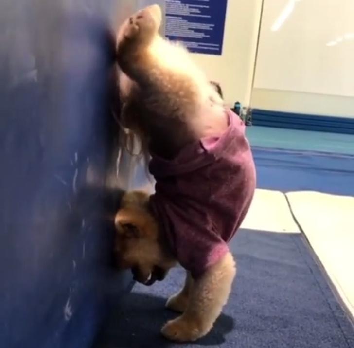 Фото №1 - Внимание в Instagram: пес ходит в настоящий человеческий спортзал