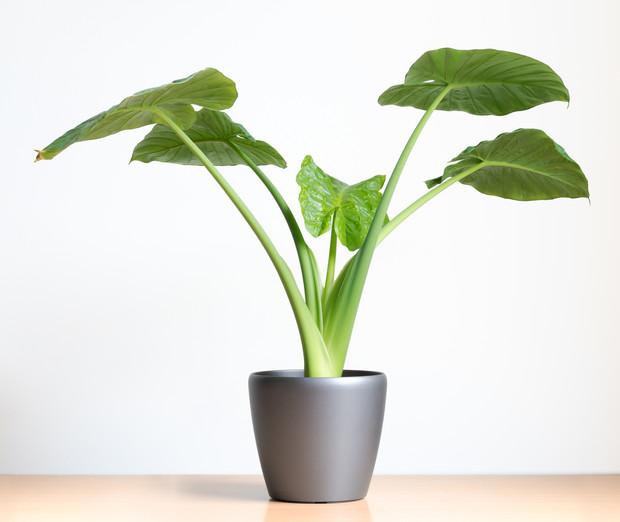 Фото №5 - Комнатные растения, которые помогут пережить сезон простуд