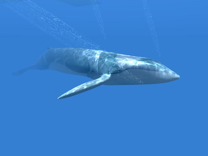 Фото №1 - Ученые обнаружили новую популяцию синих китов
