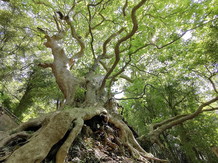 Фото №16 - Деревянные выборы: самые интересные деревья мира