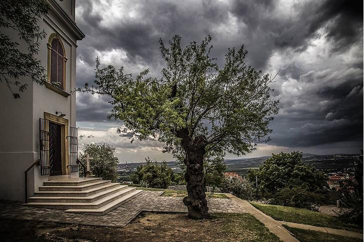 Фото №9 - Деревянные выборы: самые интересные деревья мира