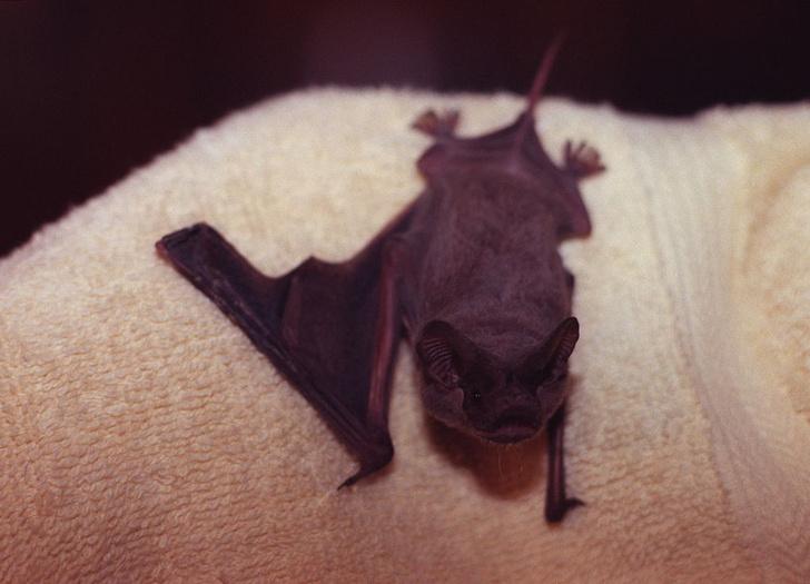 Фото №6 - Ужас, летящий на крыльях ночи: 7 самых необычных летучих мышей