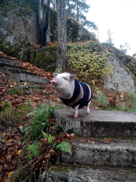 Фото №1 - Нос пятачком: 8 знаменитых свинок Петербурга