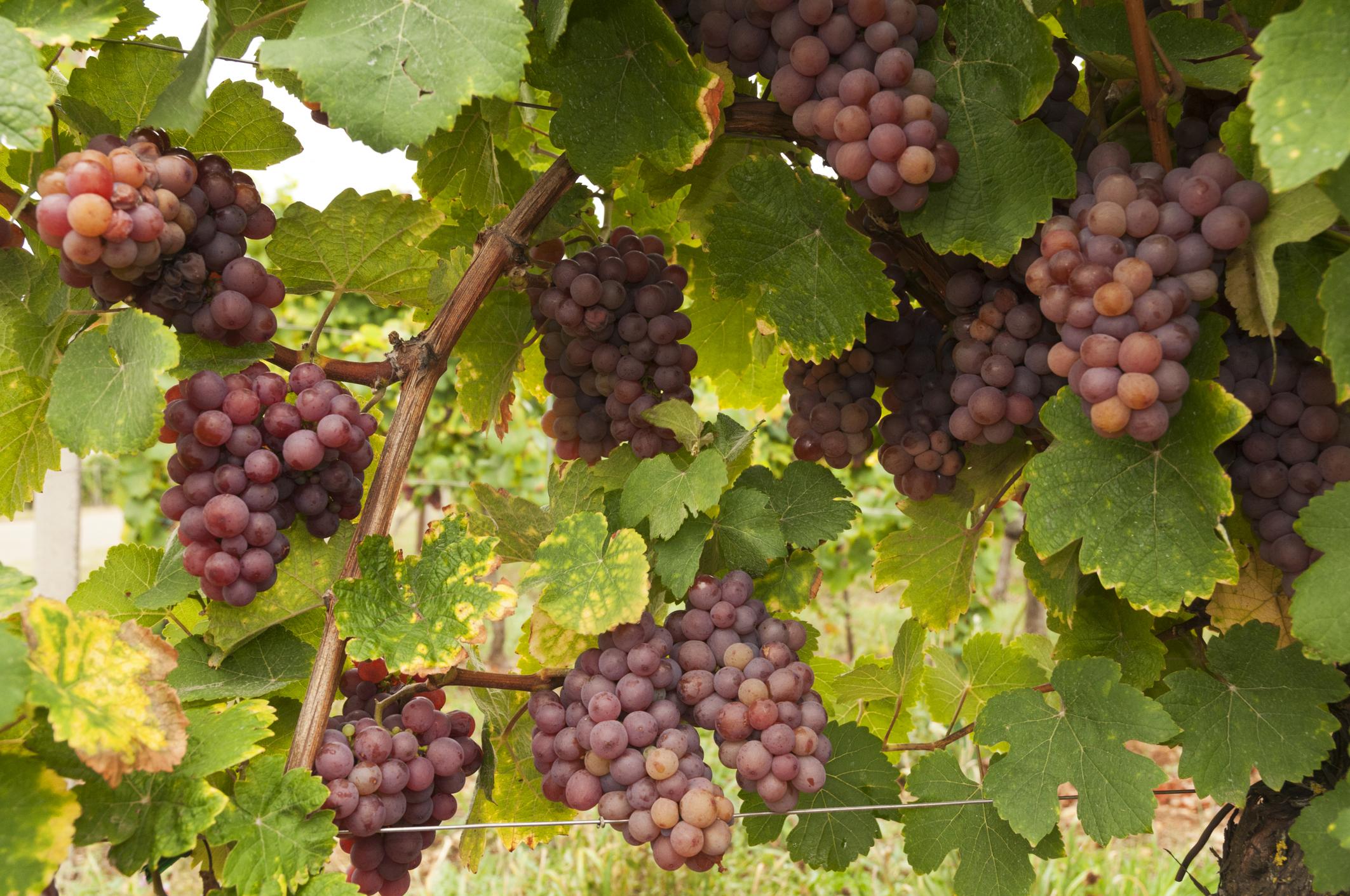 фото винограда мускат розовый нашем сайте