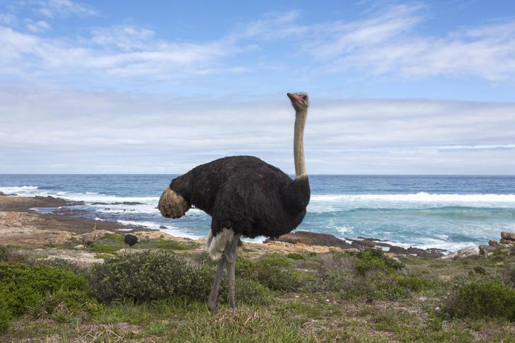 Фото №4 - Сила и сообразительность: правда и мифы о страусах