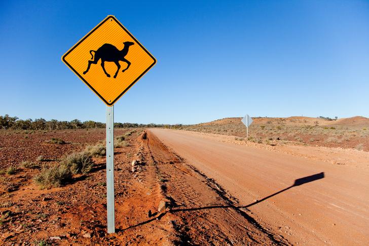 Фото №7 - Корабли пустыни: 7 поразительных фактов о верблюдах