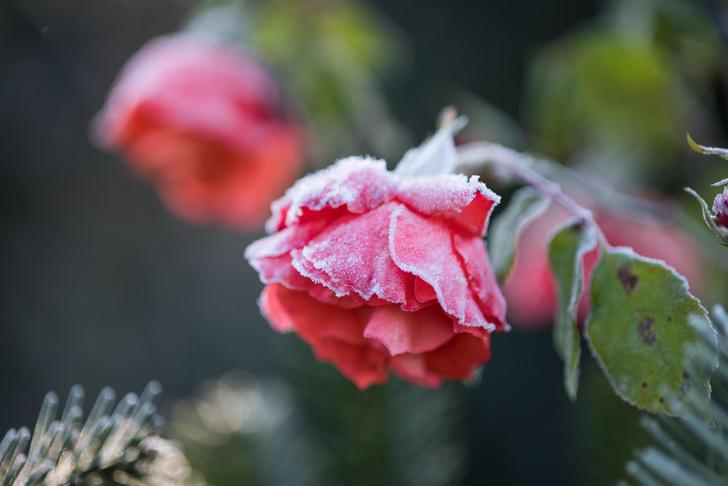 Почему после зимы вымерзают розы