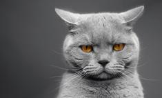 Самые популярные короткошерстные породы кошек