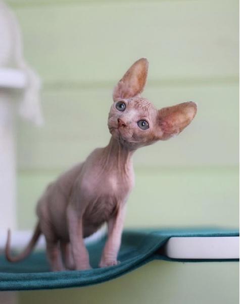 породы кошек для семей с маленькими детьми