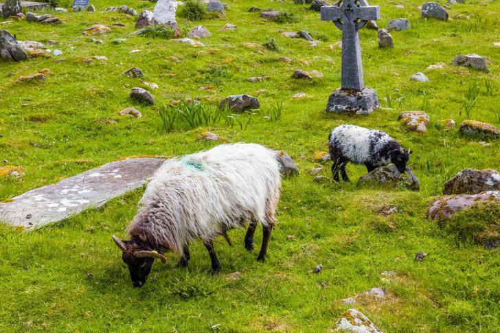 Фото №1 - Специально «нанятые» овцы и козы помогли найти исторические могилы в Ирландии