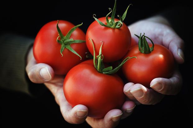 томат санька рассада