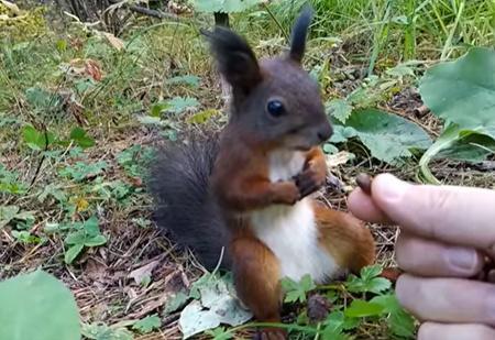 Белке протянули целую горсть орешков, и она от этого «сломалась» (видео)
